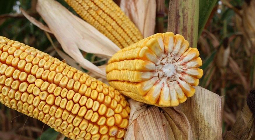Euralis, stop aux idées reçues - Le Maïs